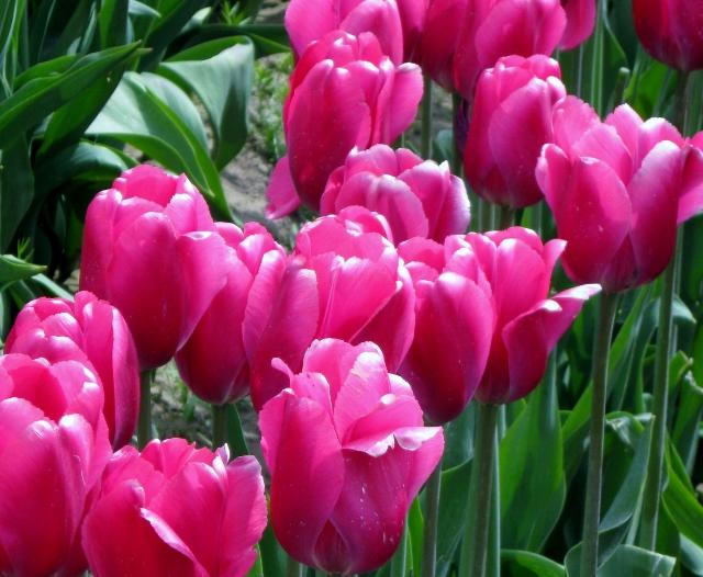 Tulip Trip 09 006 (640x526)