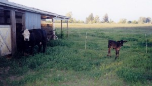 Checkers_not her baby calf (800x457)