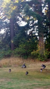 Fall turkeys grazing in our back yard.