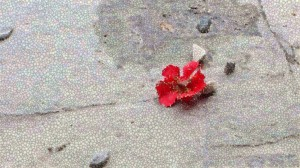 Red flower and stones (1024x576)